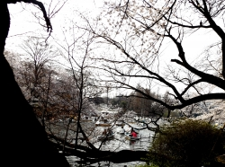20180327井の頭公園桜13