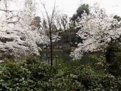 20180327井の頭公園桜15