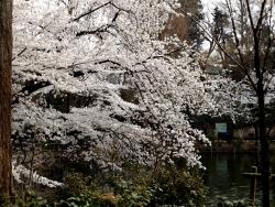 20180327井の頭公園桜16
