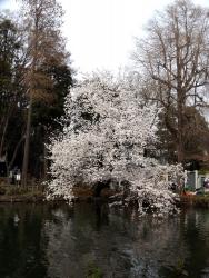 20180327井の頭公園桜19