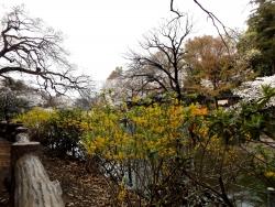 20180327井の頭公園桜20