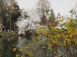 20180327井の頭公園桜21