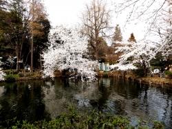 20180327井の頭公園桜18