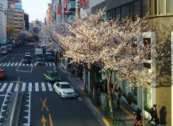 20180326桜2