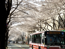 20180327桜3