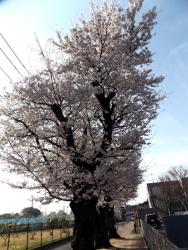 20180327桜1