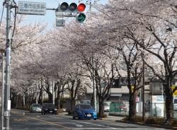 20180327桜2
