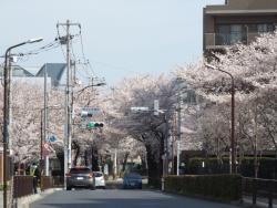 20180327桜5