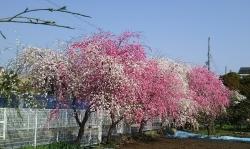 20180329桜2