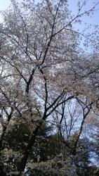 20180328桜2