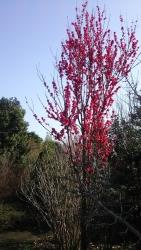 20180329桜4