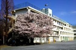 20180330三鷹第二小学校の桜2