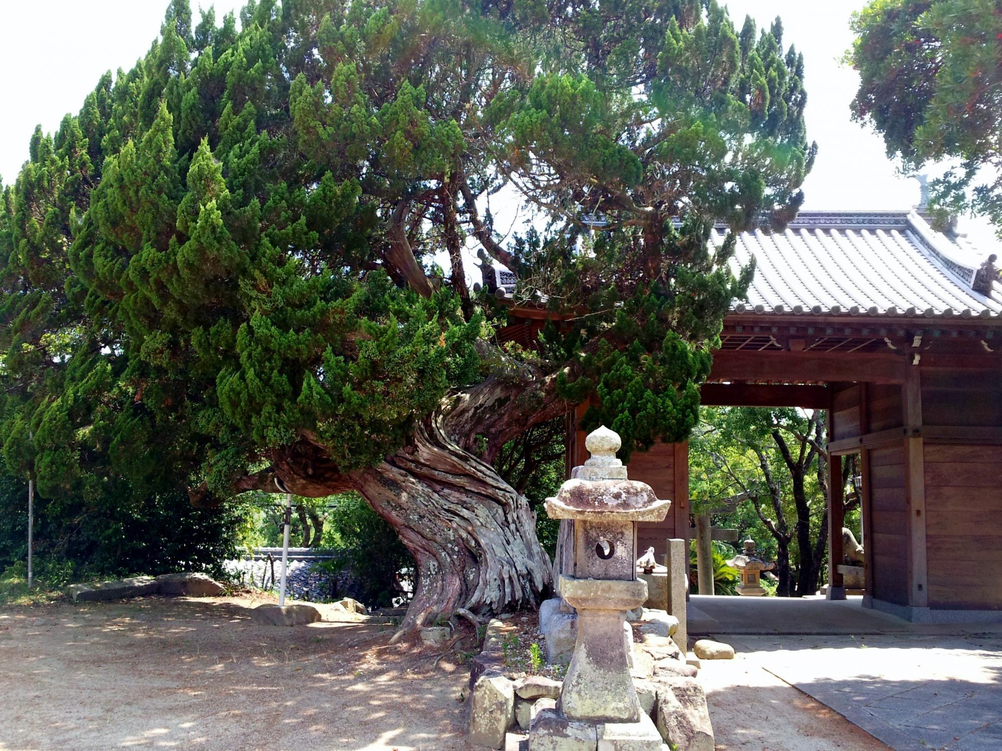 ホルトノ老木