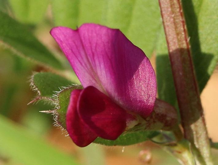 カラスノエンドウの花 30 2 27