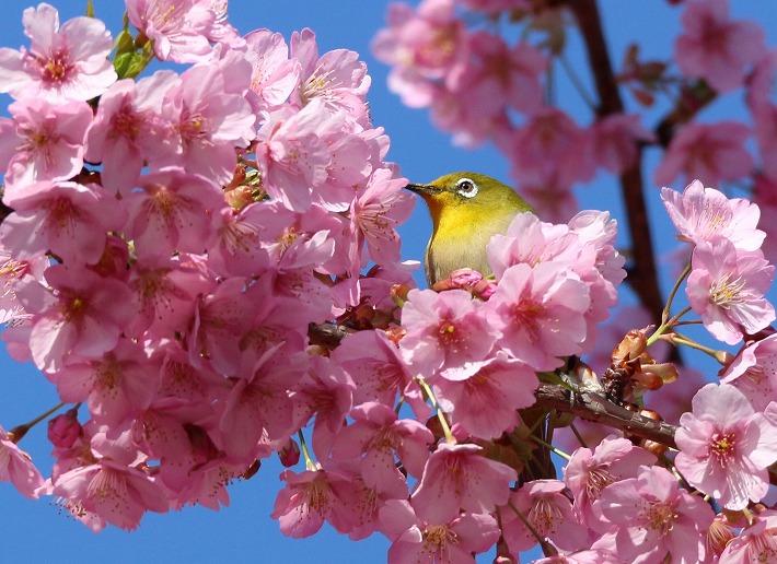 メジロ 河津桜の花に埋もれて 30 3 17