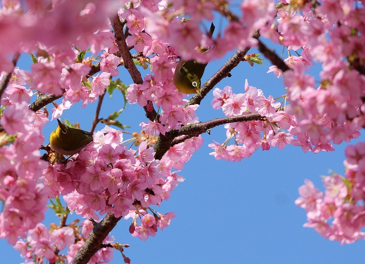 河津桜にメジロ2羽 30 3 17