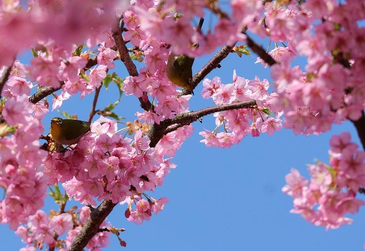 メジロ二羽 河津桜に 30 3 17