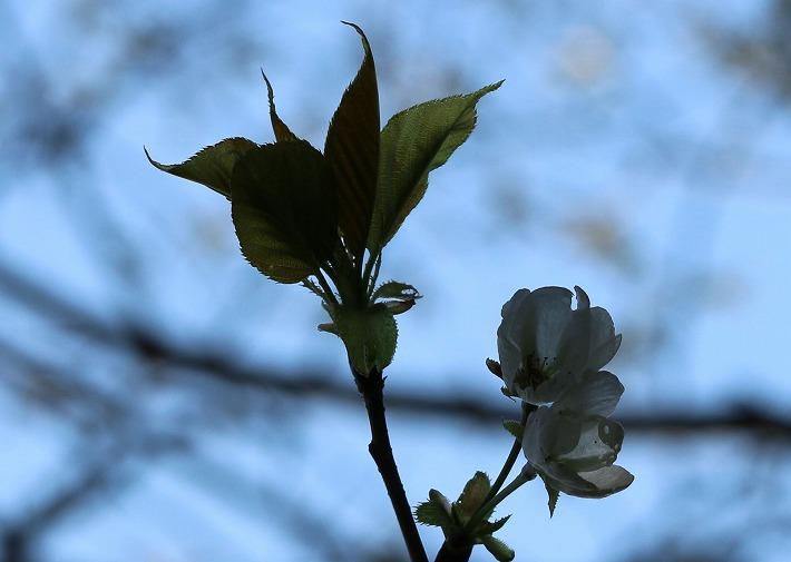 大島桜(寒咲き) 30 3 17