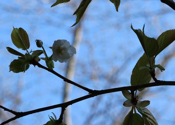 爺神山の寒咲き大島桜 一輪 30 3 17