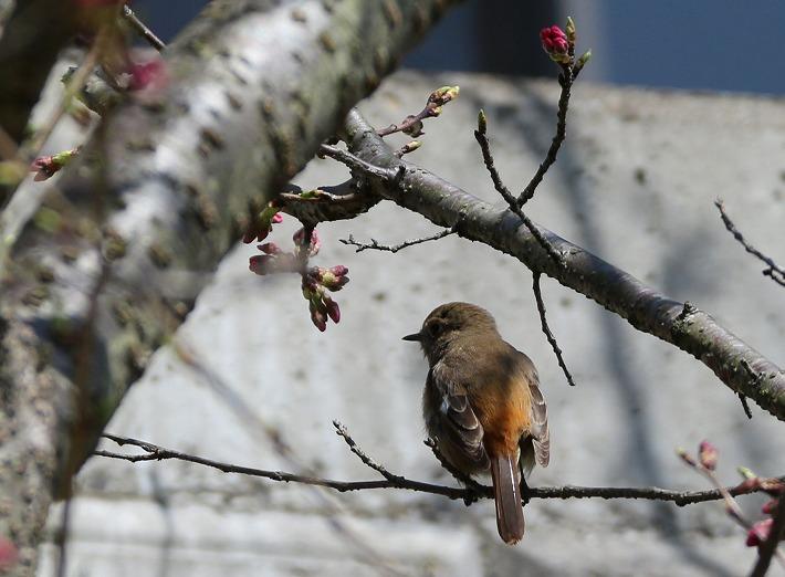尉鶲 大師堂下の彼岸桜の枝に 30 3 17