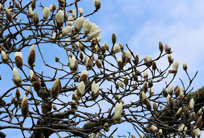 庭の白木蓮 青空と花と 30 3 18