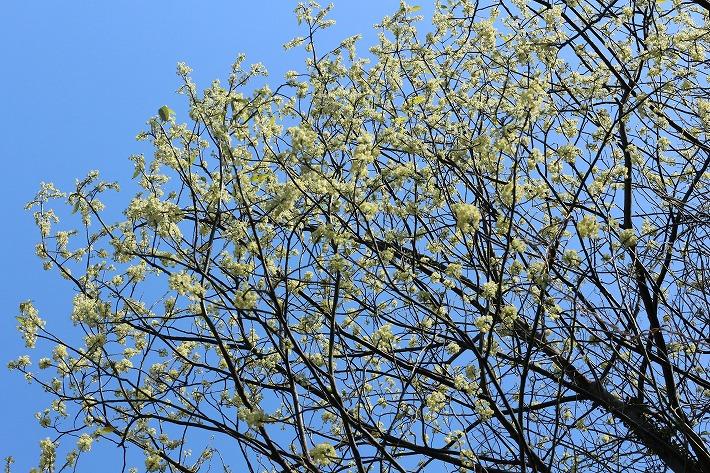 アオモジの花満開 30 3 23