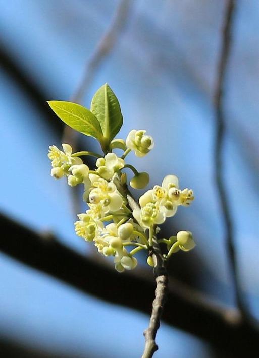 アオモジの花アップに 30 3 23