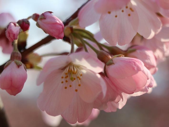 大師堂下のかわいい桜見頃 30 3 25