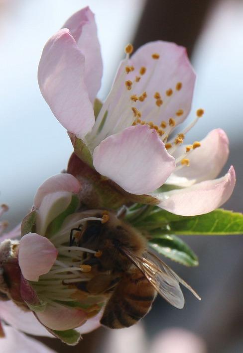 アーモンドの花と蜜蜂と 30 3 26