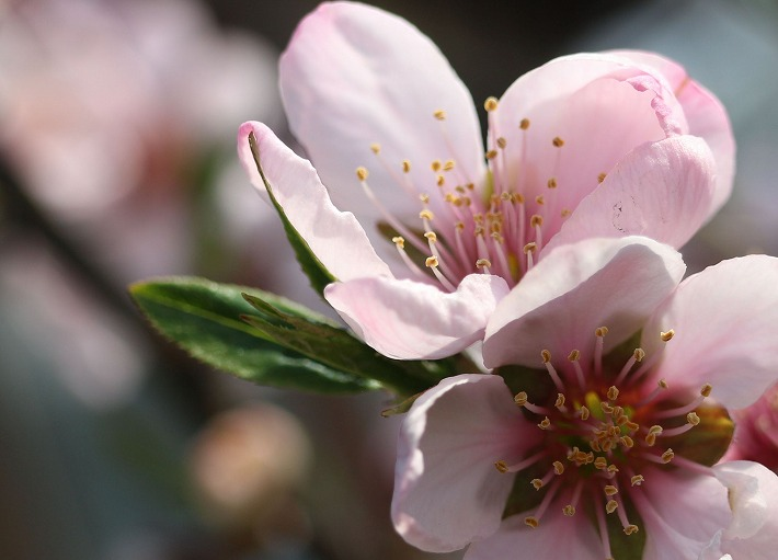 アーモンドの花 上向きに 30 3 26