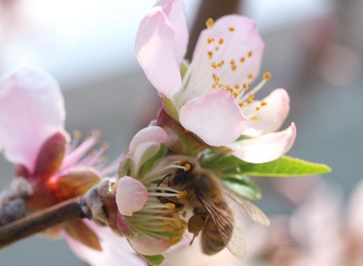 アーモンドの花に蜜蜂が来る 30 3 26