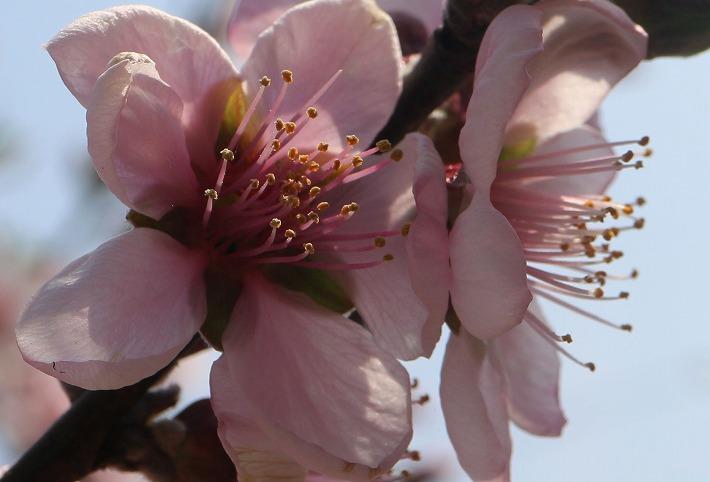 アーモンドの花横向きに 30 3 26