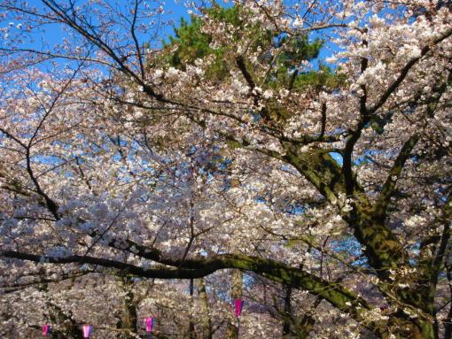 202桜(1)