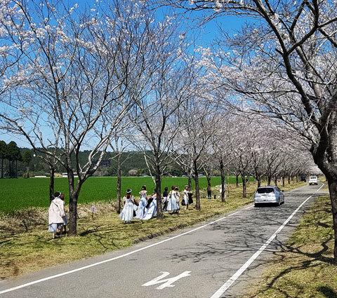 まきばの桜の画像