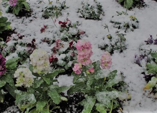 春の雪4 (2)