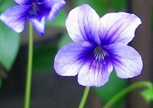7-methods-to-present-a-gift-using-the-violet-flower.jpg