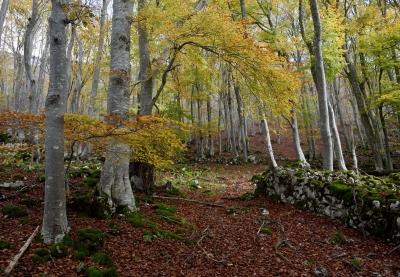 ブナ 森 木