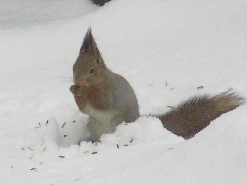フィンランド 冬 リス Orava Squirrel