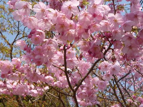 桜の下で(2)