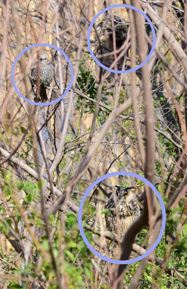 トラフズク2羽ヒヨドリ