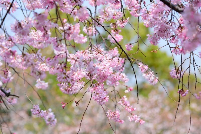 枝垂れ桜DSC_0561