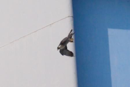 ハヤブサ飛翔DSC_0585
