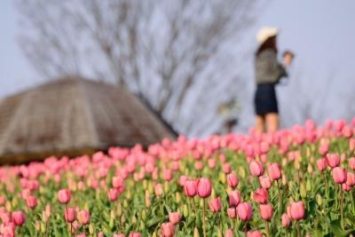 春ねチューリップDSC_0784