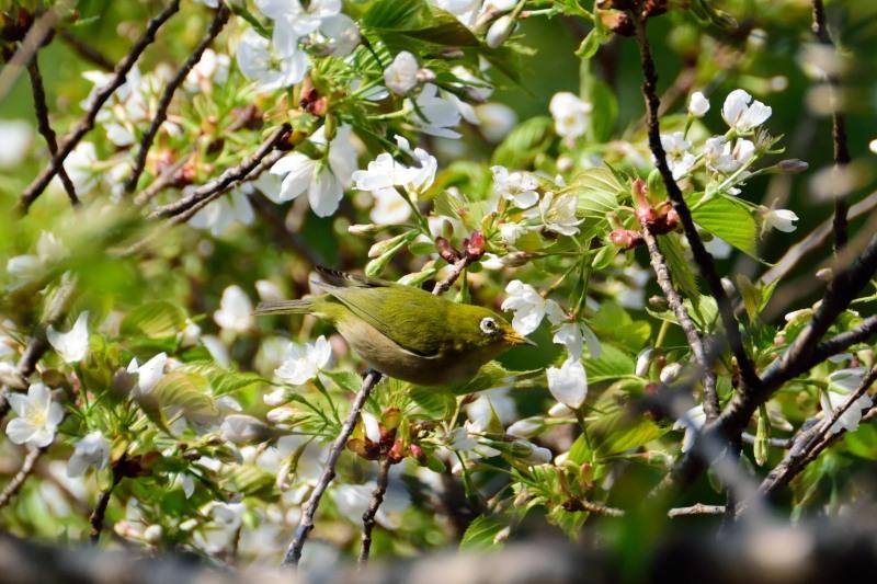 メジロ桜DSC_0736