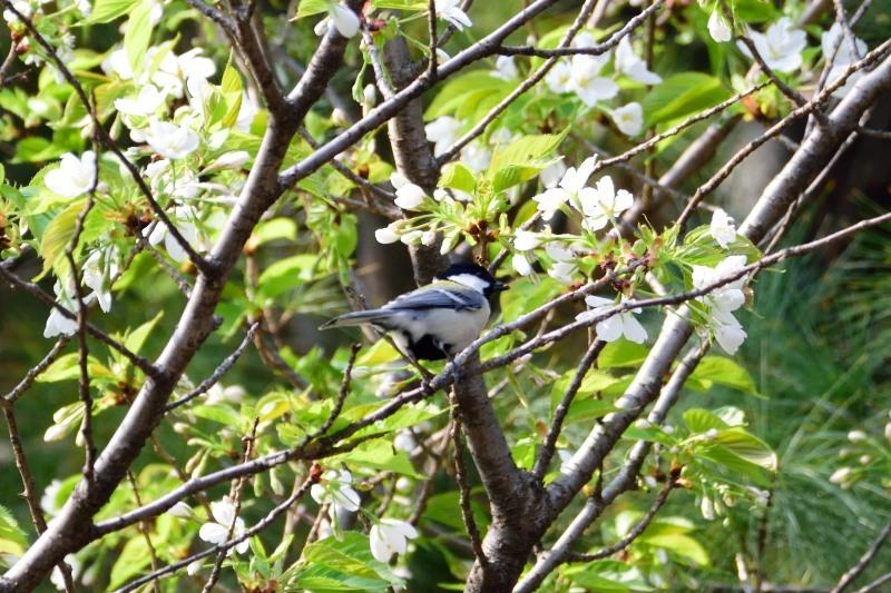 桜シジュウカラDSC_0655