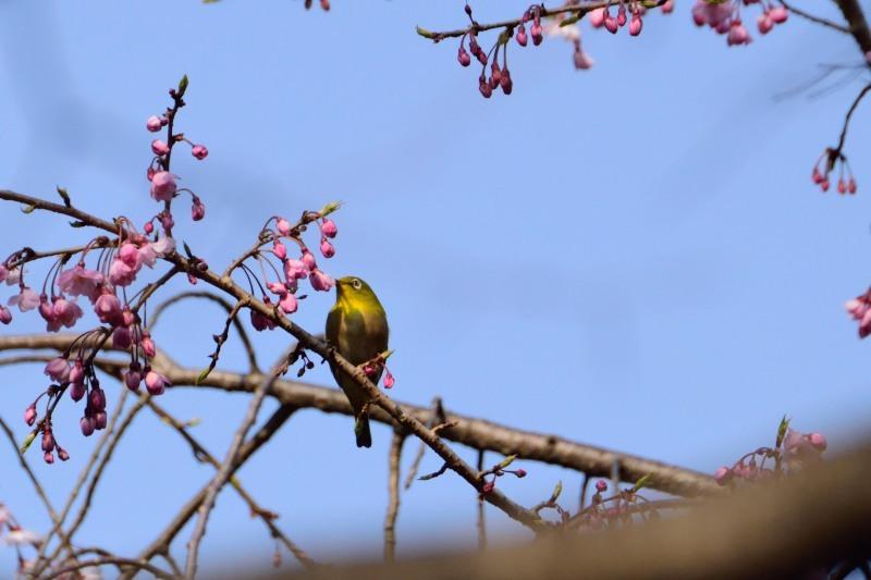 メジロ桜蕾DSC_0748