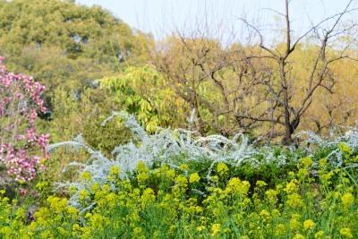 春ね菜の花DSC_0776