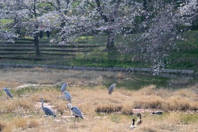 春ねアオサギDSC_0765