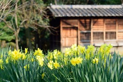 春ねラッパ水仙DSC_0777