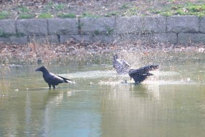 春ねカラスの水浴びDSC_0764